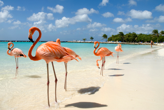 Pink flamingos on a stunning, white, sandy beach in Aruba, Caribbean.